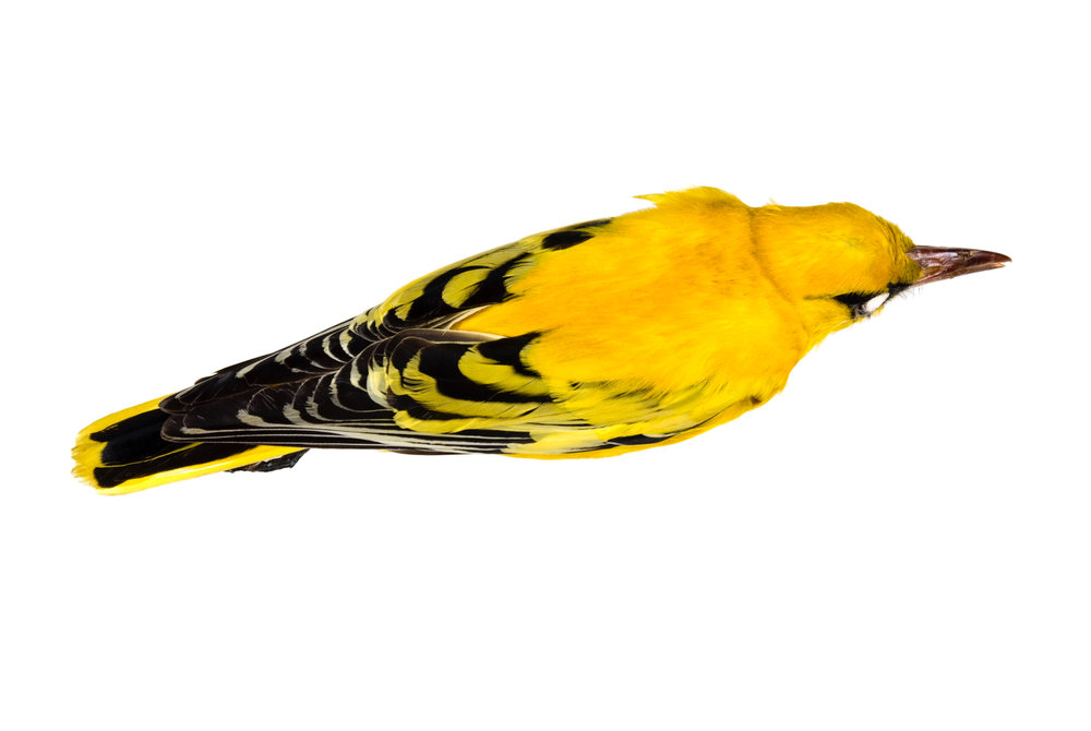 "african golden oriole 1   8"" x 12"" or 12"" x 18""  2007"