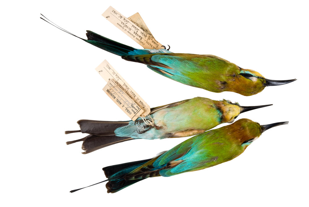 "rainbow bee-eaters 1   8"" x 12"" or 12"" x 18""  2007"