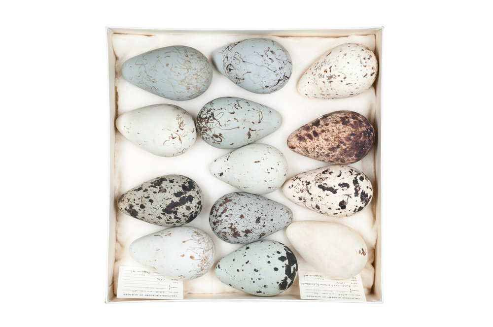 "brünnich's guillemot eggs 1   8"" x 12"", 12"" x 18"" or 20"" x 30""  2009"