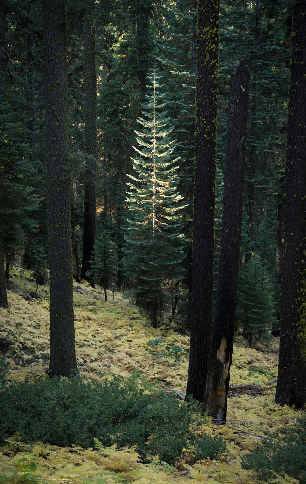 """sequoia national park 4   8"""" x 11"""", 12"""" x 17"""" or 18"""" x 28""""  2016"""