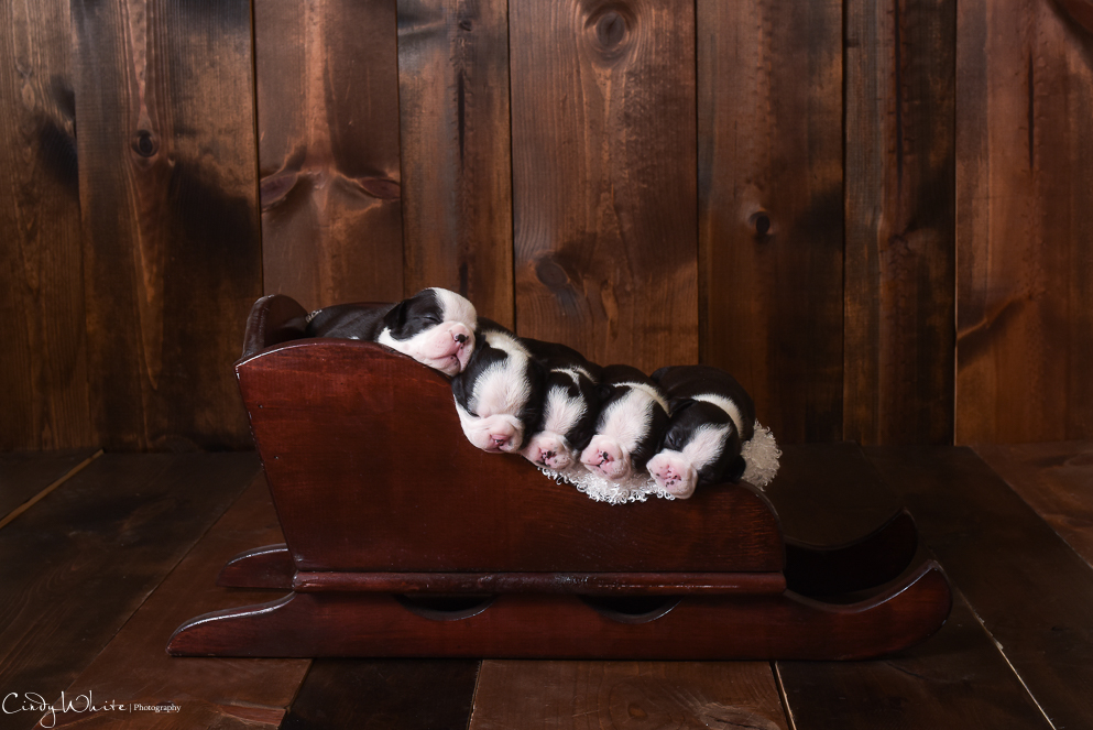 culpeper_va_puppies_boston_terrier_pictures_06