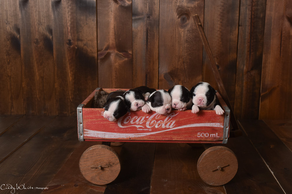 culpeper_va_puppies_boston_terrier_pictures_08
