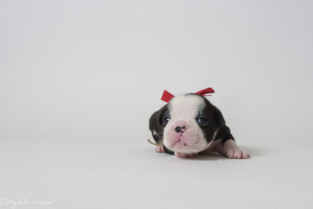 culpeper_va_puppies_boston_terrier_pictures_10