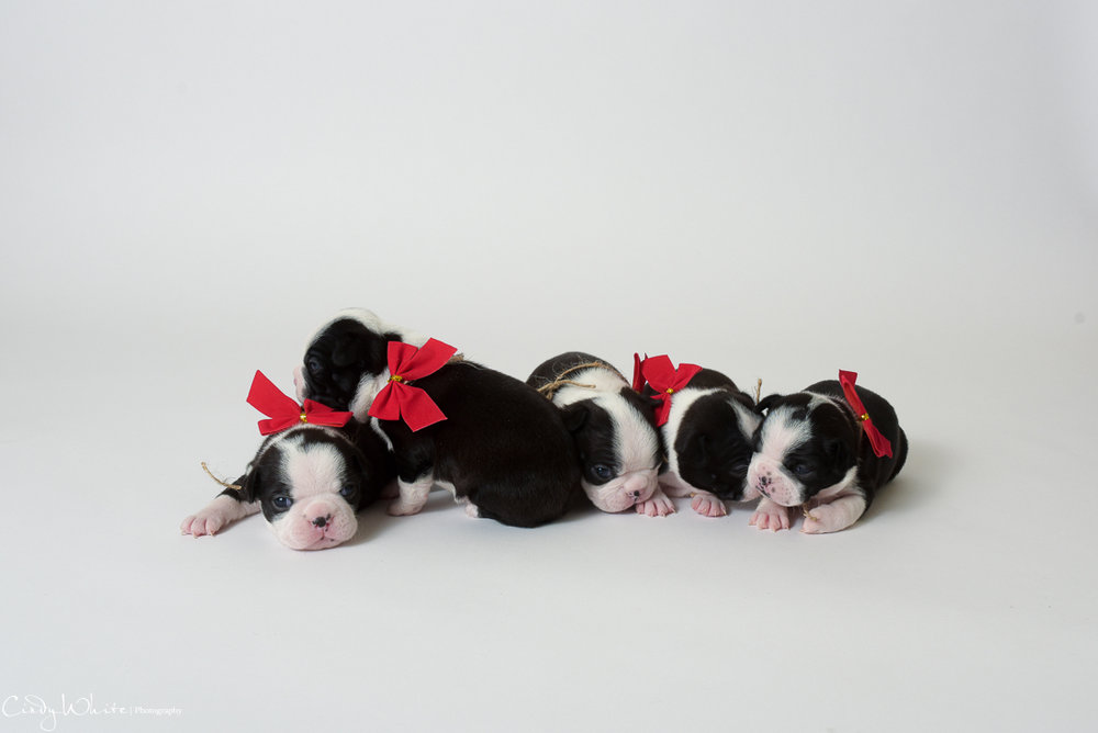culpeper_va_puppies_boston_terrier_pictures_11