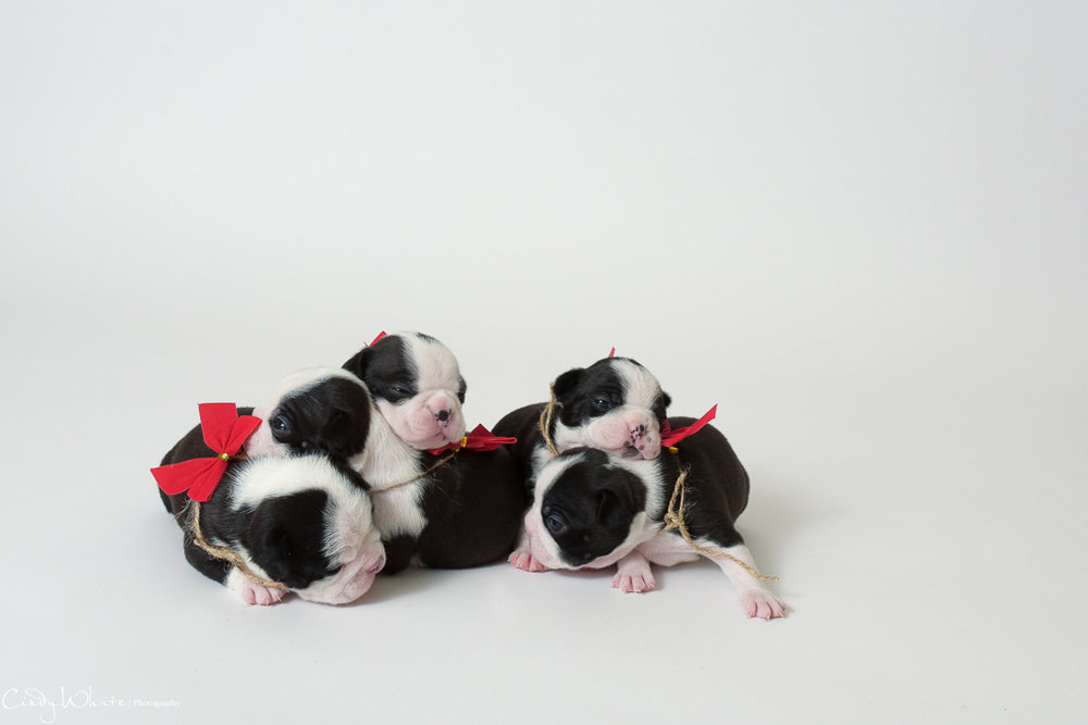culpeper_va_puppies_boston_terrier_pictures_13