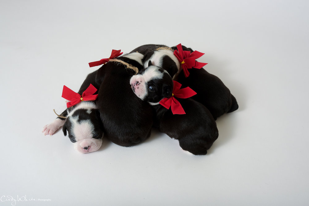 culpeper_va_puppies_boston_terrier_pictures_12