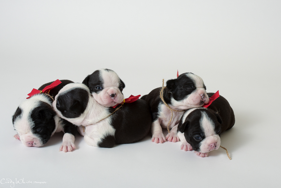 culpeper_va_puppies_boston_terrier_pictures_14
