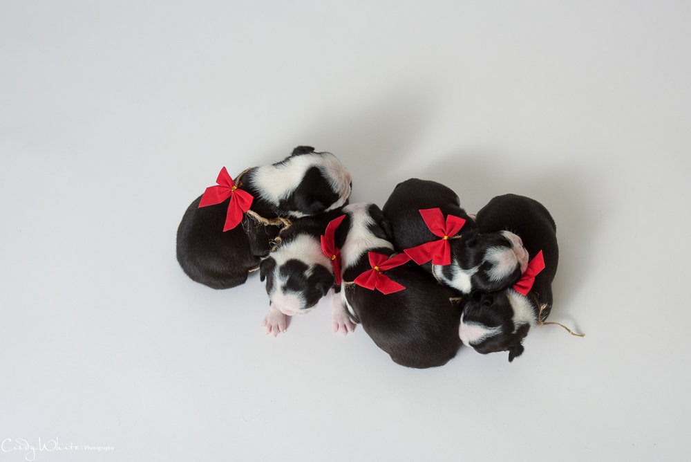 culpeper_va_puppies_boston_terrier_pictures_15