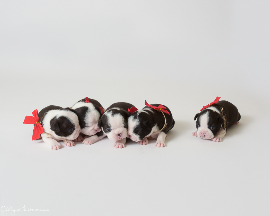 culpeper_va_puppies_boston_terrier_pictures_16