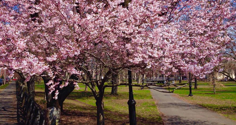 Cherry Blossoms in New Haven. Photo Credit:  Walk New Haven