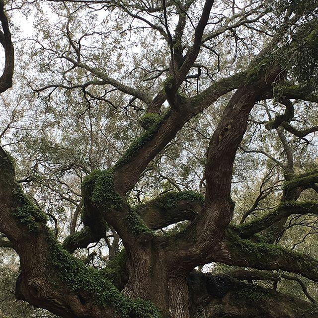 Finally made it. This is the Angel Oak Tree in South Carolina. Simply breathtaking. .http://www.therootedtree.net . . @therootedtreeshop . . #Bedeeplyrooted #truth #intentionalliving #smallbusiness #groomsmengift #groomsgift #weddinggift #menswatch #guygift #woodwatch #woodglasses #leatherjournal #adventure #leathercuff #leatherbracelet #wanderlust #woodburnedart #socialgood #watchesofinstagram #uniquewatch #coolgift #hipster #minimalist #leathergoods #handcrafted #therootedtree #hipsterfashion #industrialpipe #beardman #beardsofinstagram