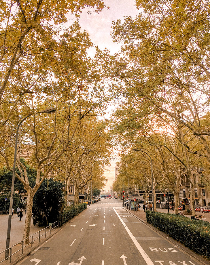 Trees lined up on the main streets in Barcelona. Photo by Leon Korobacz.