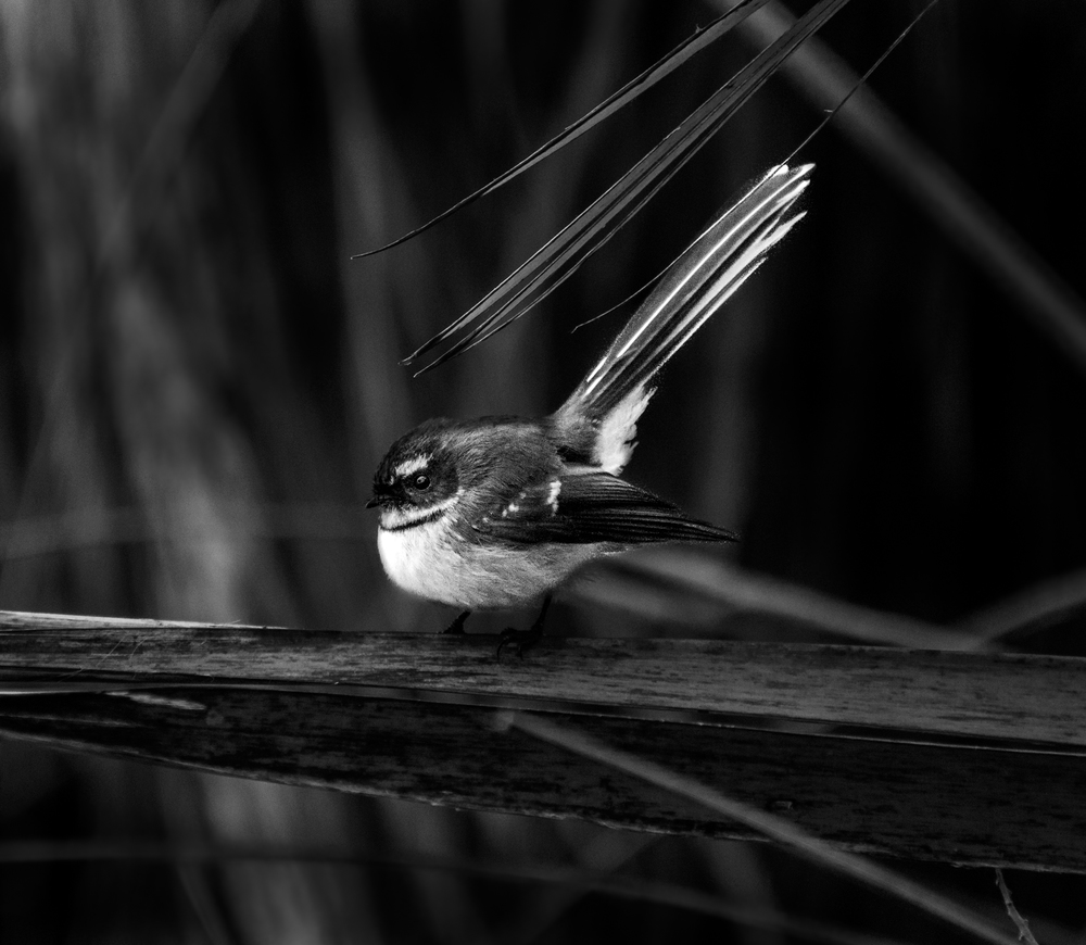 Our new friend the Fantail, Lake Paringa