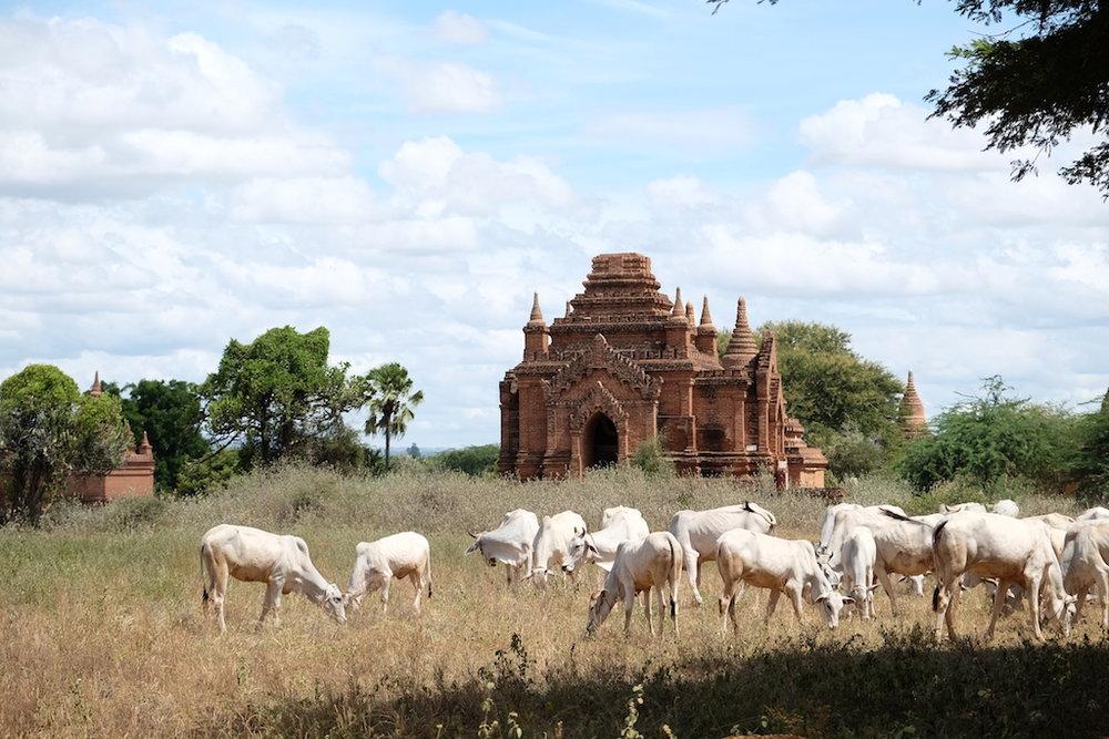 Random pagoda with cows