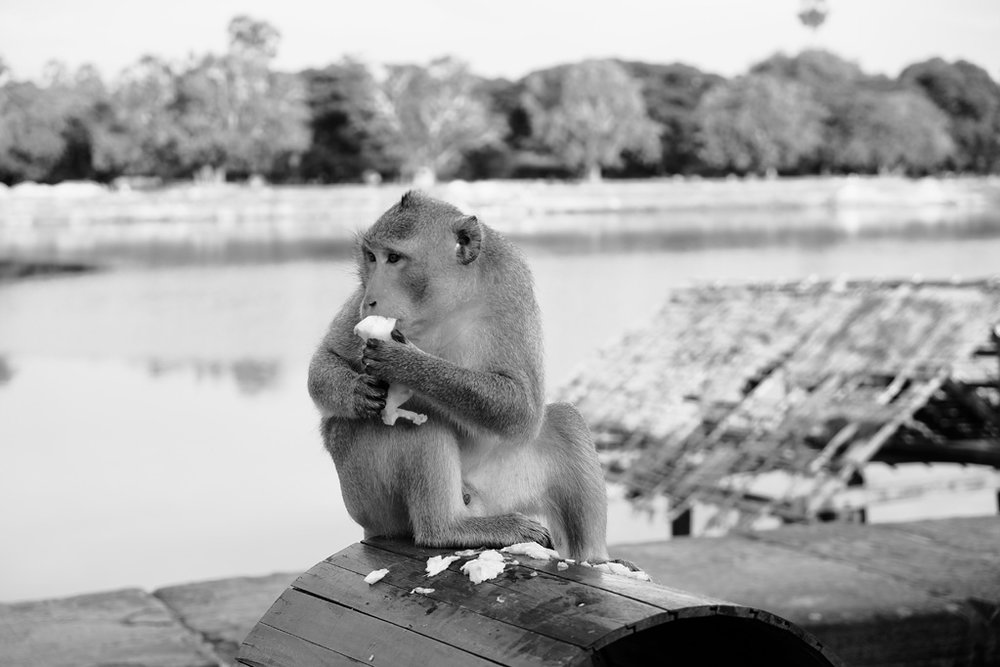 Day 2: Angkor Wat monkey ( Macaque )