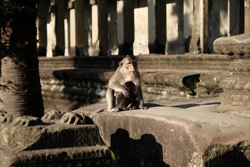 Day 3: Angkor Wat monkey / macaque