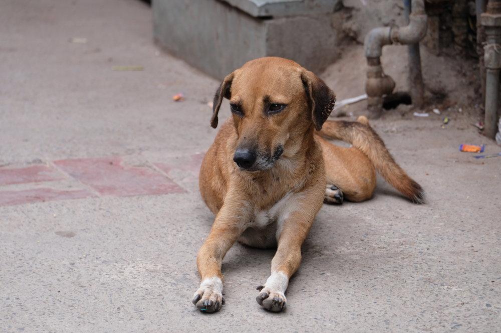So many dogs, Old Delhi
