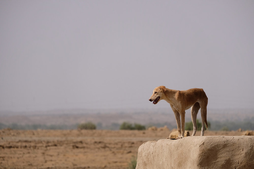 Dog, Hamad's village, Thar Desert