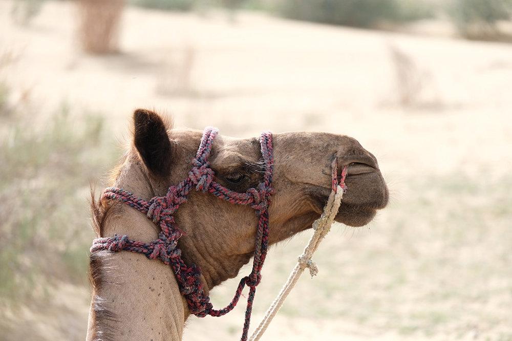 Camel, Thar Desert