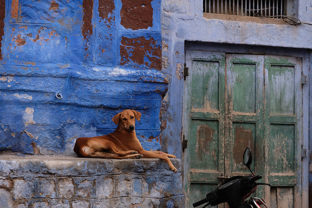 Dog on Blue background, Jodhpur