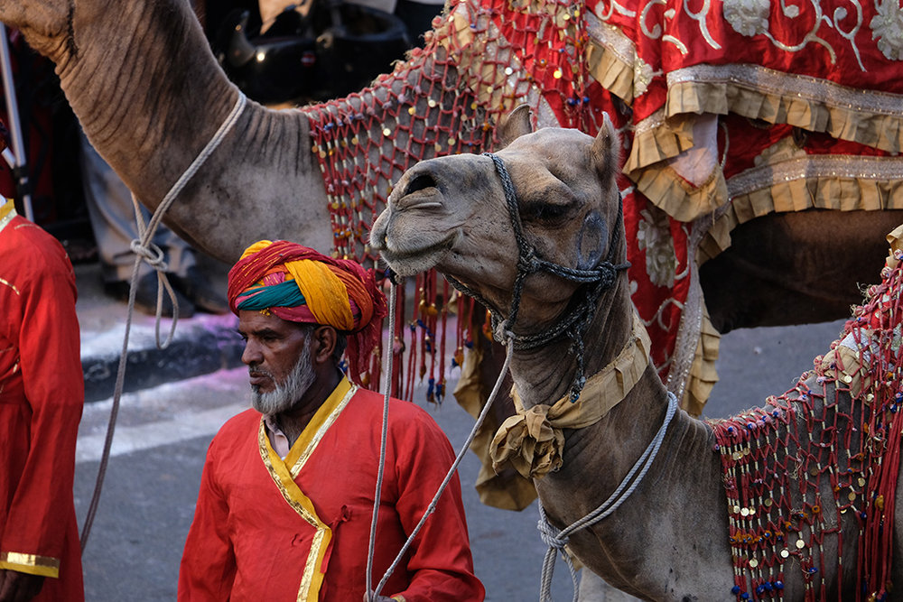 Man walks camel, Teej Festival
