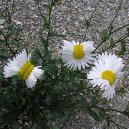 Deformed Daisies Growing Near fukushima Nuclear Plant; Source:  NEONNETTLE
