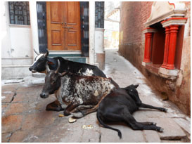 Sacred cows enjoy their leisure in the narrow streets of Varanasi, where for thousands of years people have provided them food in a thousand doorways.        – Photo: RBS