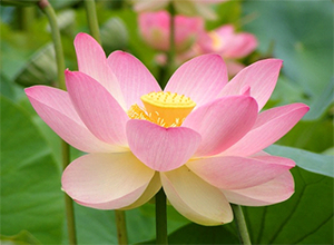 The lotus, India's national flower, is held sacred in Hindu and Buddhist traditions. – Photo: Wikipedia, Peripitus