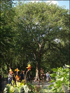 The Hare Krishna Tree in Tompkins Square Park, New York City, under which Bhaktivedanta Swami Prabhupada led his first public chanting of the Hare Krishna mantra in the U.S – Photo: Wikipedia