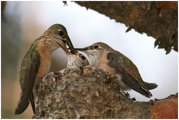 A hummingbird feeds her nearly grown chicks. – Photo: Wikipedia, Wolfgang Wander