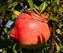 A pomegranate – Photo: Wikipedia