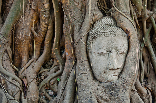 Buddha head statue overgrown by fig tree in Wat Mahatat, Ayutthaya – Photo:  Mark Fischer, C.c. 2.0 sa