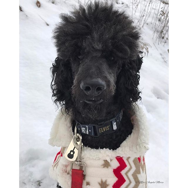 """Do we really have to go inside...?"" Elvis was a little sad to have to go inside after all the fun he'd been having playing around in all of the freshly fallen snow, catching snowballs & snowflakes today  #WinterIsHere #Snow #WinterWonderland #BabyItsColdOutside #BundledUp #NewEngland #RhodeIsland #SnowDay #StayWarm #Handsome #TooCute #SoHappy #HeLovesTheSnow #Elvis #ElvisTEdison #Poodle #StandardPoodle #Furbaby #Rescue #ModelPup #SnowPup #VeganDog #DogsOfInstagram #PetParent #DogFamily #SundayFunday"