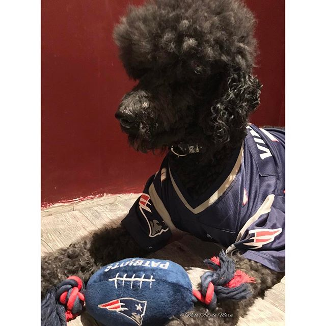 #Latergram of my furbaby Elvis all game ready & dressed in his Patriots gear! 🏈  #PreGame #SuperBowlSunday #GameReady  #SuperBowl #SB51 #HomeTeam #GoPatriots #FlyingElvis #NewEnglandPatriots #PatriotsNation #DoYourJob #PatriotsPup #PutMeInBelichick  #Elvis #ElvisTEdison #Poodle #StandardPoodle #Rescue #ModelPup #VeganDog  #DogsOfInstagram #PetParent  #NewEngland #RhodeIsland #NewEnglander #SoHappy #NewEnglandForTheWin #BostonStrong