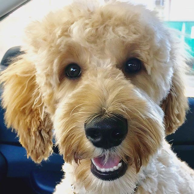 Pepper booked a job! And.....here he is with his fancy first time spa day cut #pepper #doodle #gorgeousdoodles #famousdogs #hollywoodpuppies #ft45star #ft45divadog