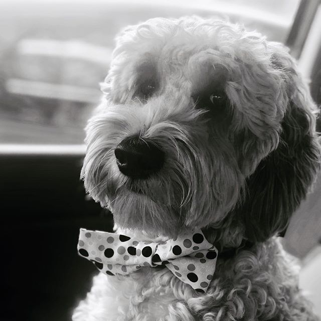 After his workout Pepper is heading downtown for a special Rex luncheon. #dogsofrex #pepperperrin #newfacesmodel #puppybowtie