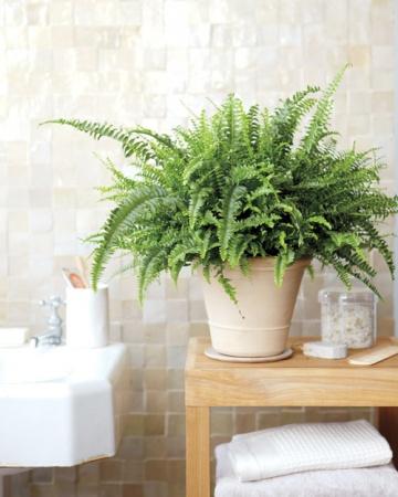 bath fern