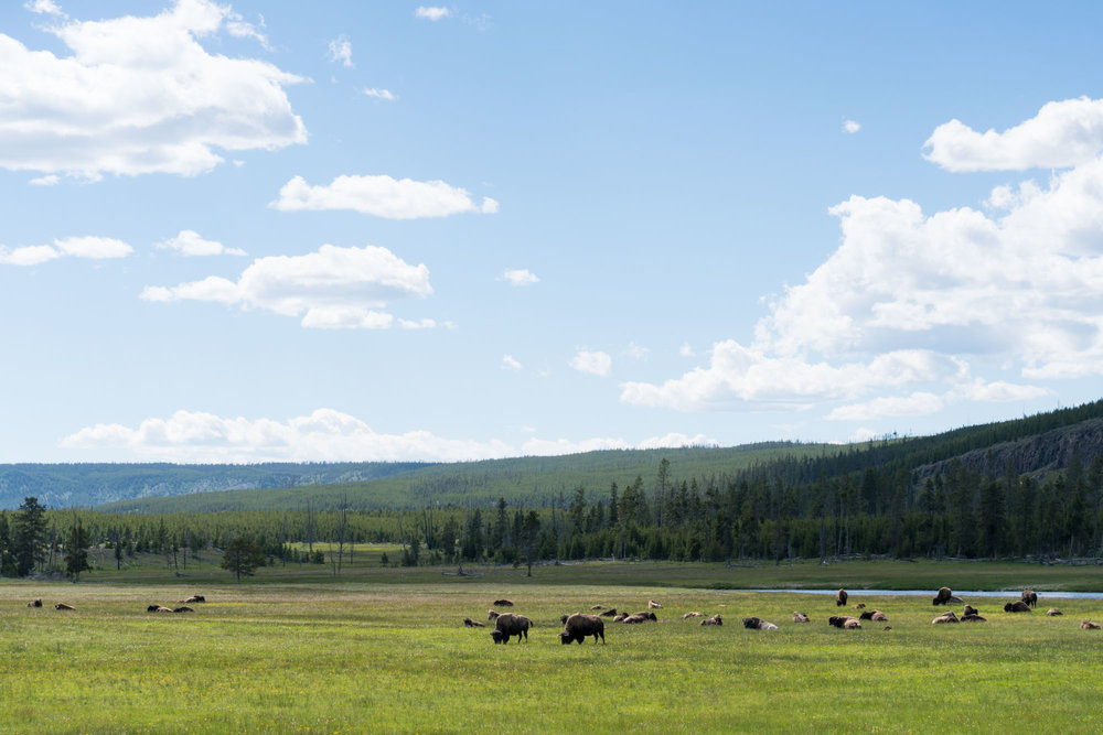 Where the buffalo roam, Yellowstone NP