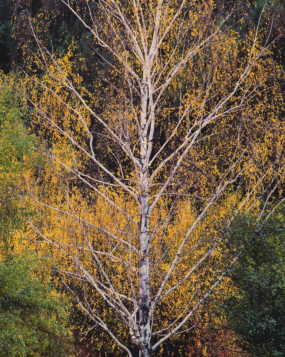 "Christopher Burkett ""Ascending Autumn Birch,"" Idaho     Cibachrome Photograph     Available in 24"" x 20"", 40"" x 30"", and 50"" x 40"""