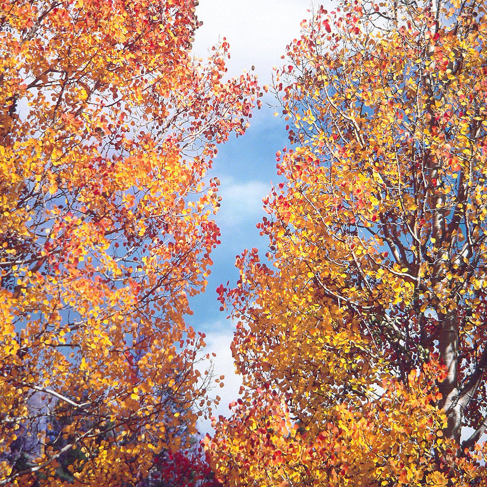 "Christopher Burkett ""Aspen Duo,"" Colorado     Cibachrome Photograph     Available in 20"" x 20"", 30"" x 30"", and 40"" x 40"""