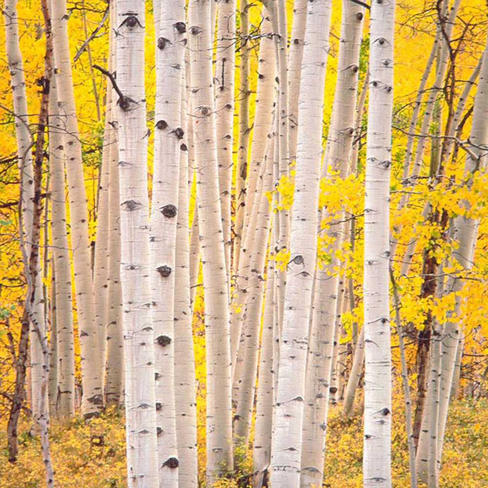 "Christopher Burkett ""Aspen Glow,"" Colorado     Cibachrome Photograph     Available in 20"" x 20"", 30"" x 30"", and 40"" x 40"""