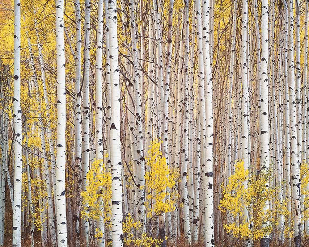 "Christopher Burkett ""Aspen Grove"" Colorado Cibachrome Photograph Available in 20"" x 24"", 30"" x 40"", and 40"" x 50"""