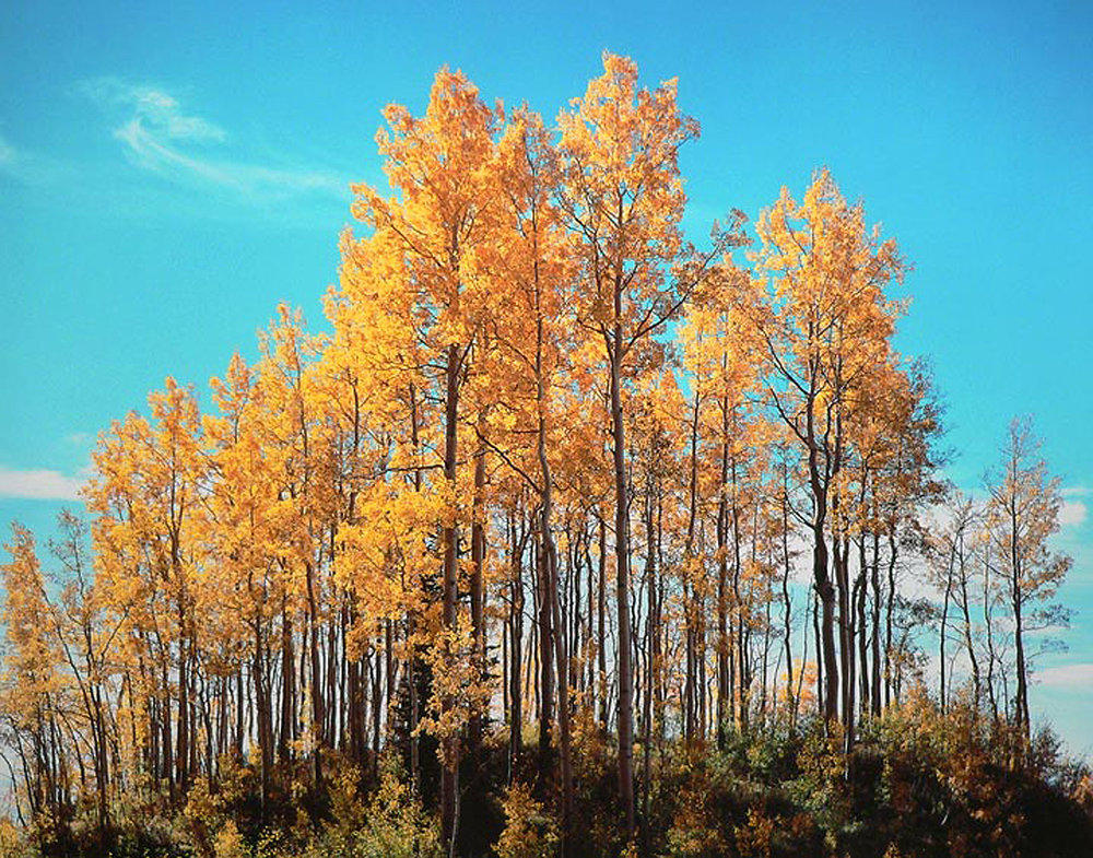 "Christopher Burkett ""Aspen Knoll,"" Colorado     Cibachrome Photograph     Available in 20"" x 24"", 30"" x 40"", and 40"" x 50"""