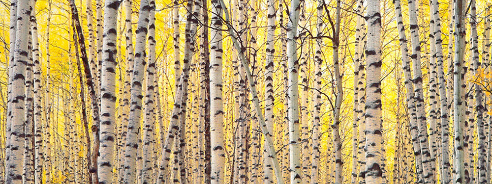 "Christopher Burkett ""Aspens & Golden Light,"" West Virginia     Cibachrome Photograph     Available in 13"" x 33"", 20"" x 50"", and 26"" x 64"""