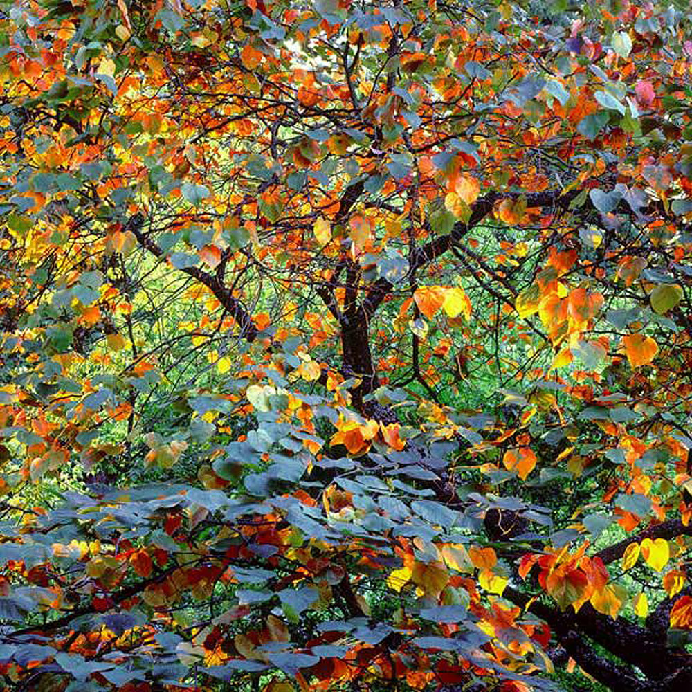 "Christopher Burkett ""Autumn Circus,"" Oregon     Cibachrome Photograph     Available in 20"" x 20"", 30"" x 30"", and 40"" x 40"""