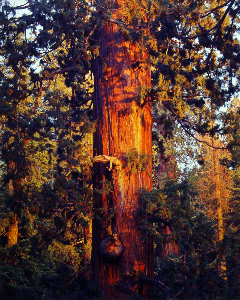 "Christopher Burkett ""Old Sequoia at Sunset,"" California  Cibachrome Photograph  Available in 20"" x 24"", 30"" x 40"", and 40"" x 50"""