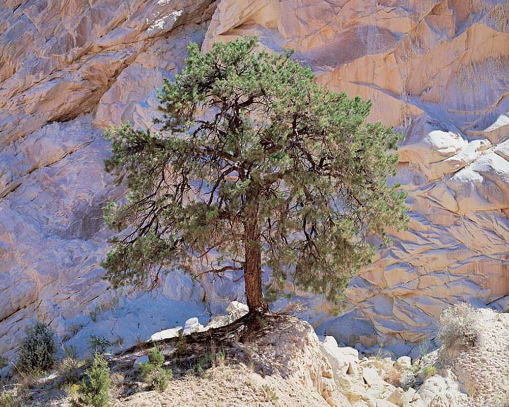 "Christopher Burkett   ""Pinyon Pine and Desert Wall,"" Utah    Cibachrome Photograph     Available in 20"" x 24"" and 40"" x 50"""
