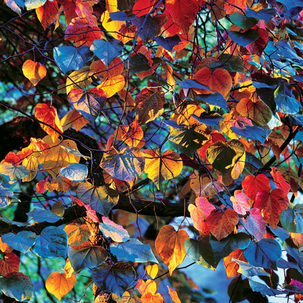 "Christopher Burkett   ""Resplendent Leaves at Sunset,"" Oregon    Cibachrome Photograph     Available in 20"" x 20"", 30"" x 30"", and 40"" x 40"""