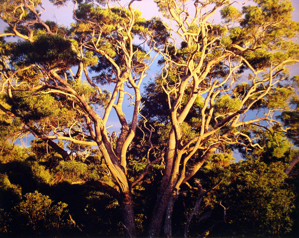 "Christopher Burkett ""Sunset, Native Koa Trees,"" Hawaii Cibachrome Photograph Available in 20"" x 24"", 30"" x 40"", and 40"" x 50"""