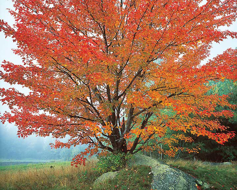 "Christopher Burkett ""Wild Red Maple and Fog,"" New Hampshire Cibachrome Photograph Available in 20"" x 24"", 30"" x 40"", and 40"" x 50"""